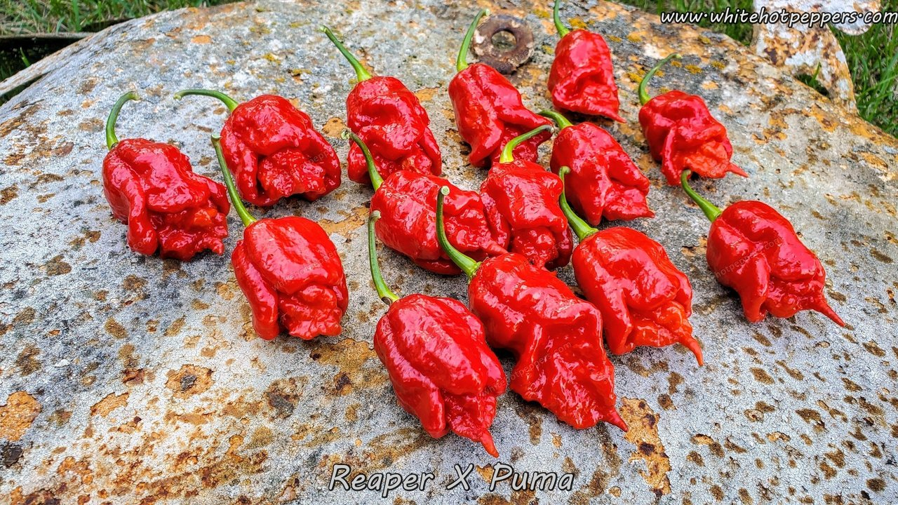 Reaper x Puma - Pepper Seeds - White Hot Peppers
