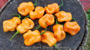 Roger's Habanero Giant Orange - Pepper Seeds - White Hot Peppers
