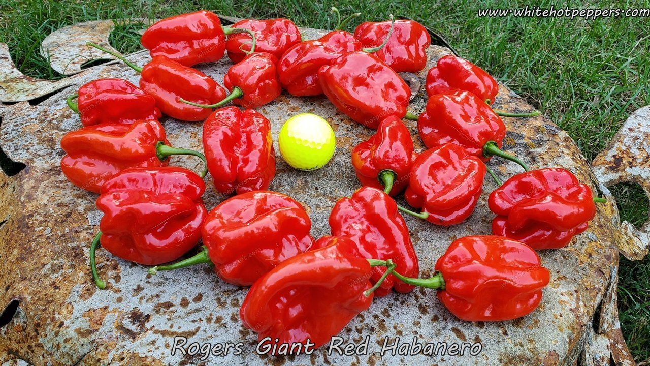 Roger's Habanero Giant Red - Pepper Seeds - White Hot Peppers