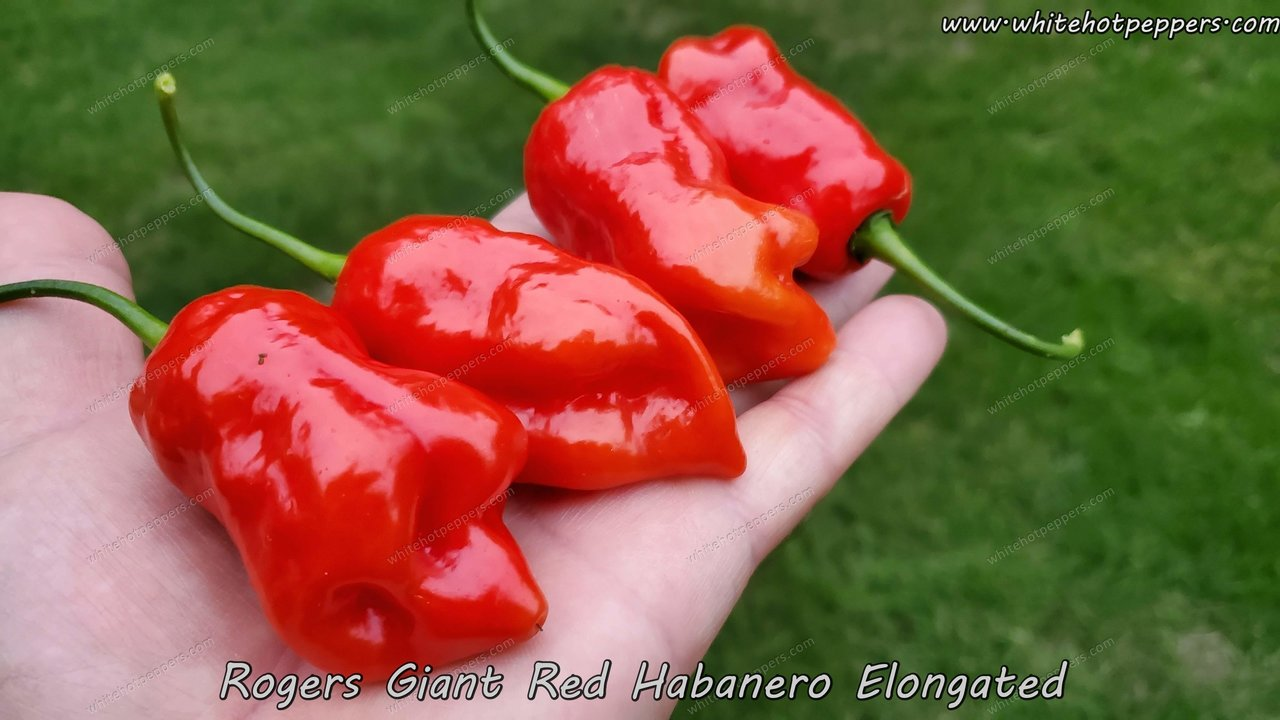 Roger's Habanero Giant Red (Long) - Pepper Seeds - White Hot Peppers