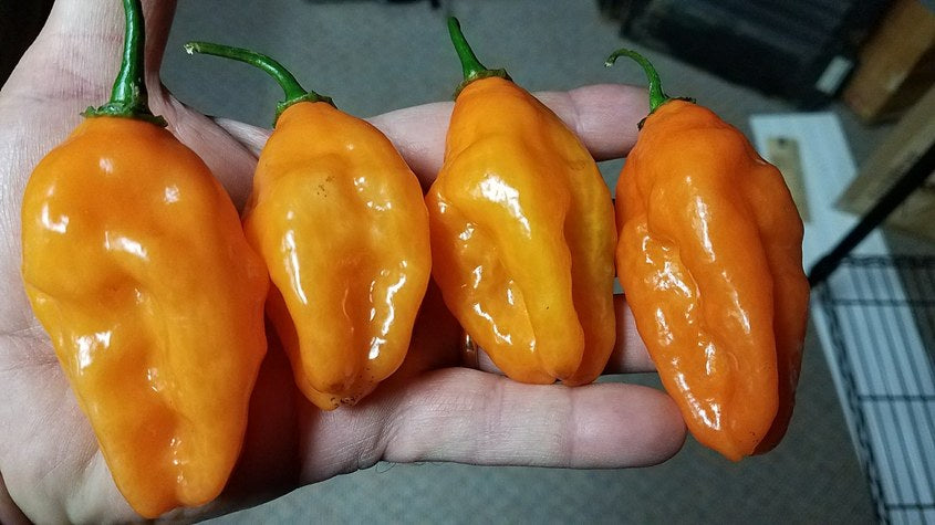 Sandra's Giant Orange (Long Pheno) - Pepper Seeds - White Hot Peppers