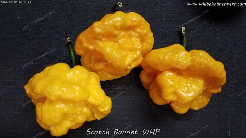 Scotch Bonnet WHP - Pepper Seeds - White Hot Peppers