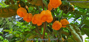 Scotch Bonnet WHP II - Pepper Seeds - White Hot Peppers