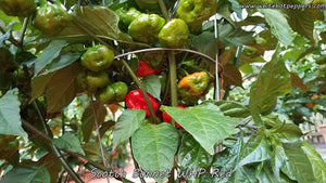 Scotch Bonnet WHP Red - Pepper Seeds - White Hot Peppers