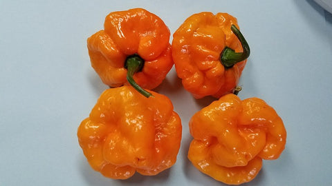 Scotch Bonnet Alan Boatman TF - Pepper Seeds - White Hot Peppers