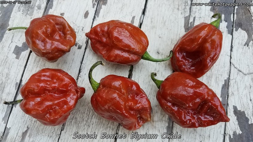 Elysium Oxide Scotch Bonnet - Pepper Seeds - White Hot Peppers
