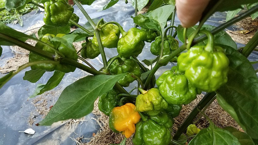 Scotch Bonnet Schneider Farms - Pepper Seeds - White Hot Peppers