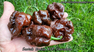 Scotch Brains XCP Chocolate - Pepper Seeds - White Hot Peppers