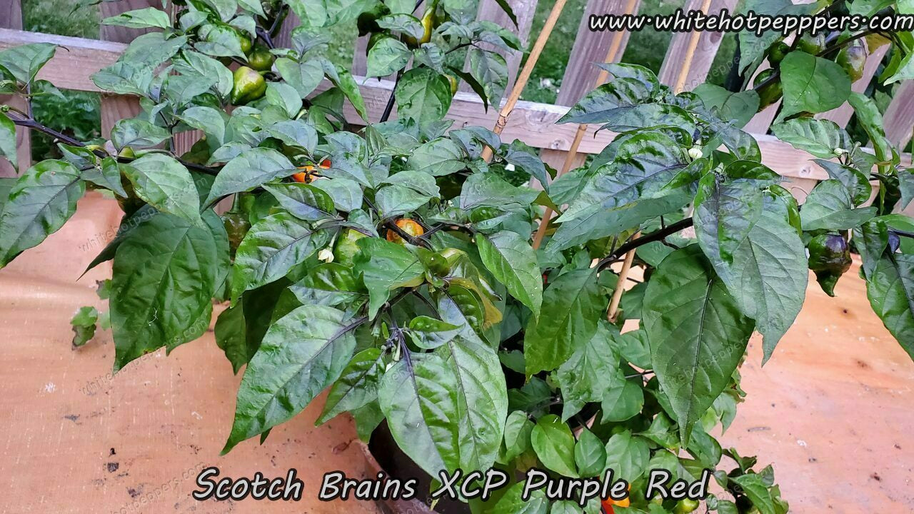 Scotch Brains XCP Purple/Red - Pepper Seeds - White Hot Peppers