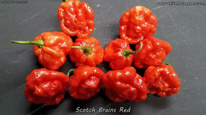 Scotch Brains F1 Cross (Red Pheno) - Pepper Seeds - White Hot Peppers