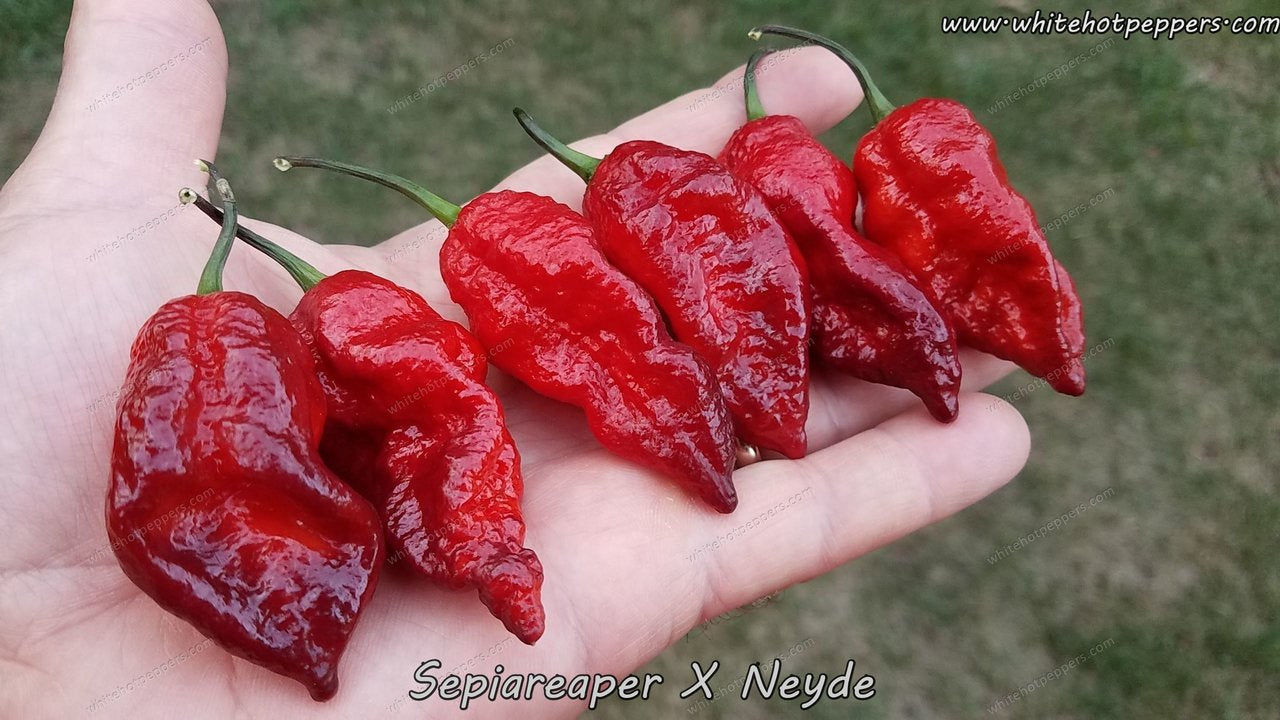 SepiaReaper x Neyde - Pepper Seeds - White Hot Peppers