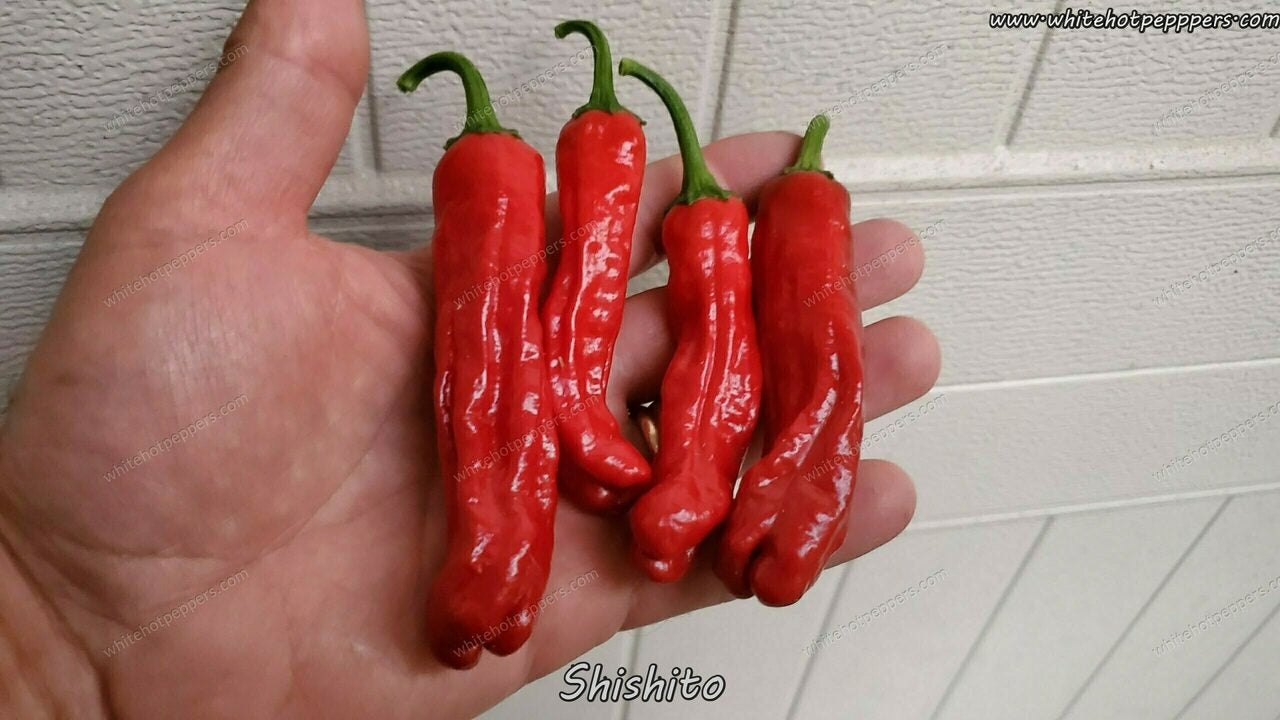 Shishito - Pepper Seeds - White Hot Peppers