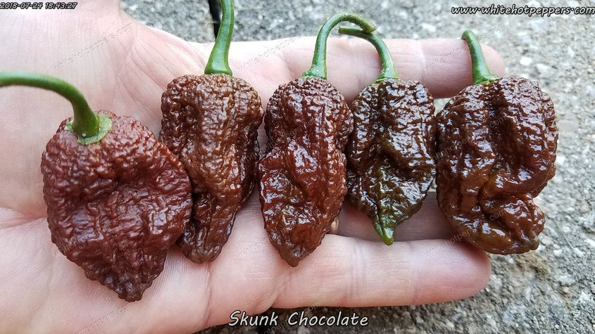 Skunk Chocolate - Pepper Seeds - White Hot Peppers