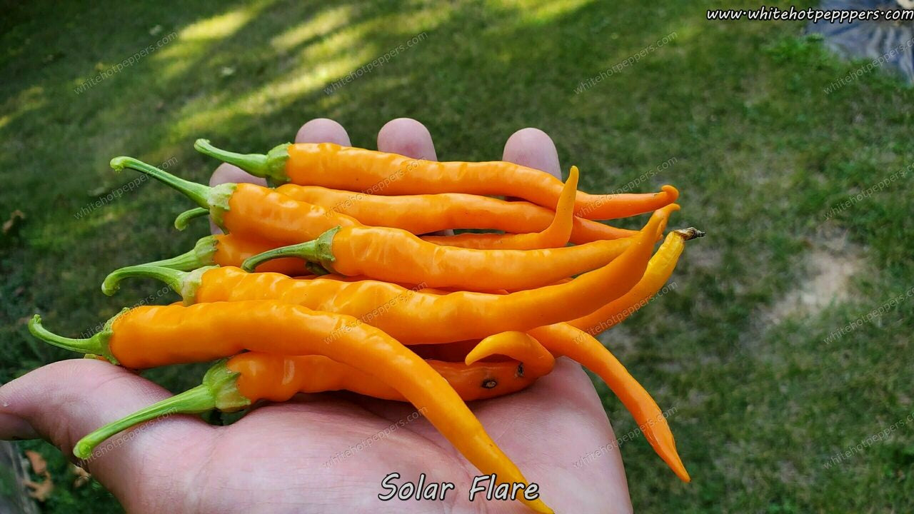 Hangjiao 3 - Solar Flare - Pepper Seeds - White Hot Peppers