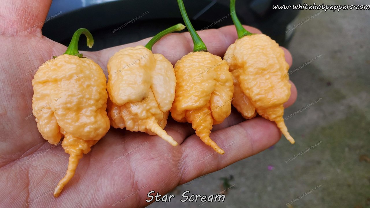 Star Scream - Pepper Seeds - White Hot Peppers