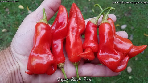 Sugar Rush Red - Non Isolated Seeds - White Hot Peppers