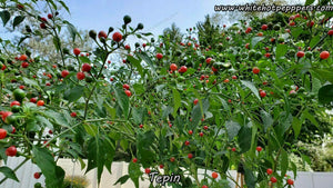 Tepin - Pepper Seeds - White Hot Peppers