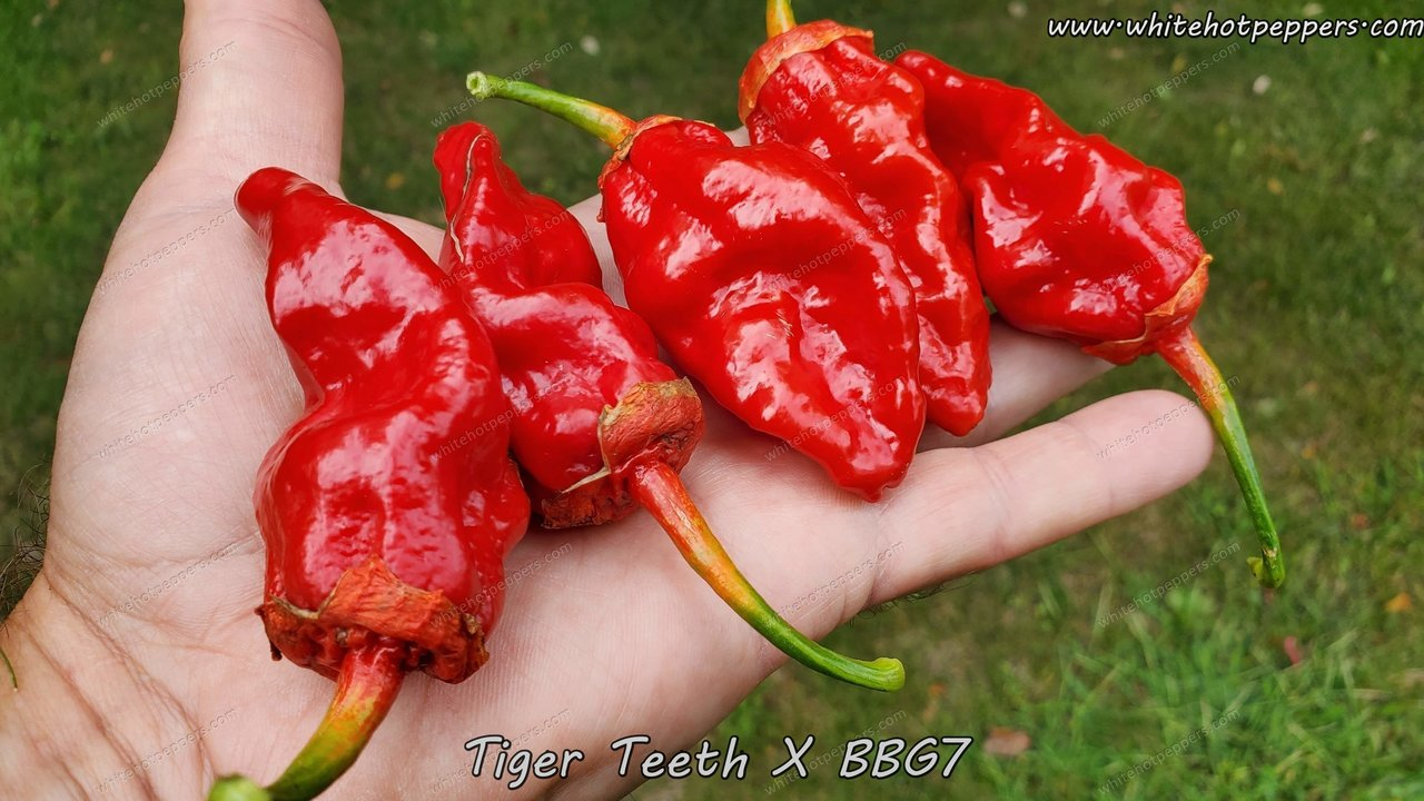 Tiger Teeth x BBG7 - Pepper Seeds - White Hot Peppers