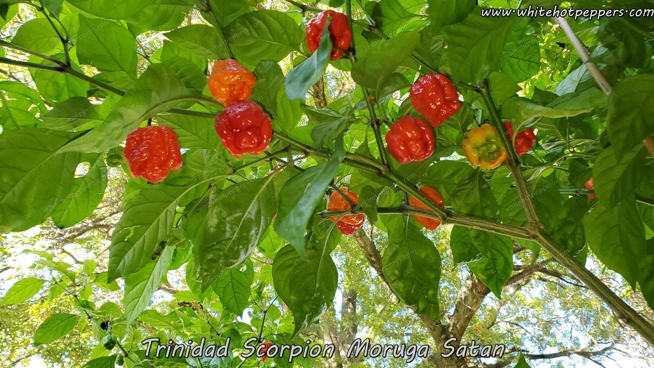 Trinidad Scorpion Moruga Satan Strain - Pepper Seeds - White Hot Peppers