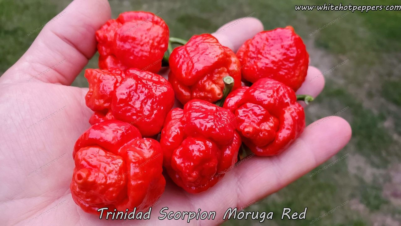 Trinidad Scorpion Moruga Red - Pepper Seeds - White Hot Peppers