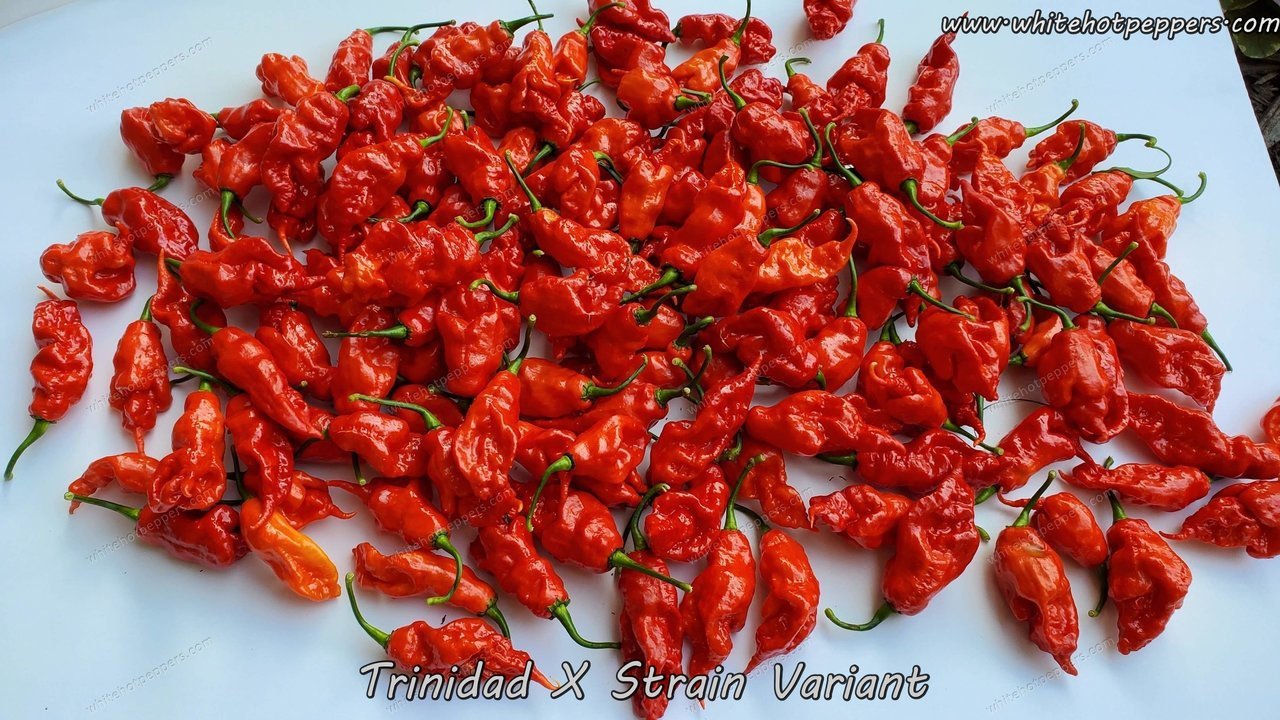 Trinidad X-Strain Variant - Pepper Seeds - White Hot Peppers