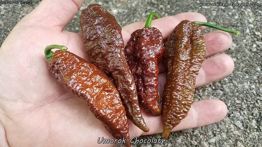 Umorok Chocolate - Pepper Seeds - White Hot Peppers