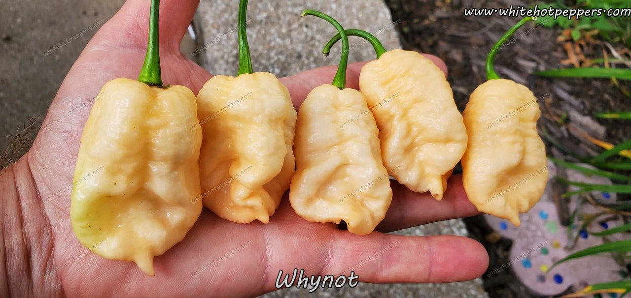 Whynot - Pepper Seeds - White Hot Peppers