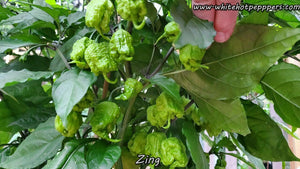 Zing - Pepper Seeds - White Hot Peppers