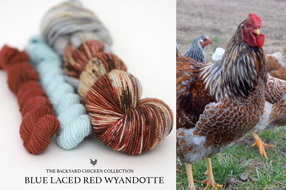Blue Laced Red Wyandotte Rooster