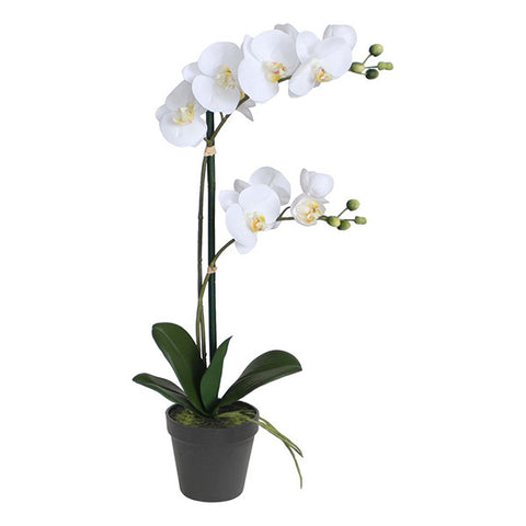 POTTED 50CM ORCHID TWO STEMS