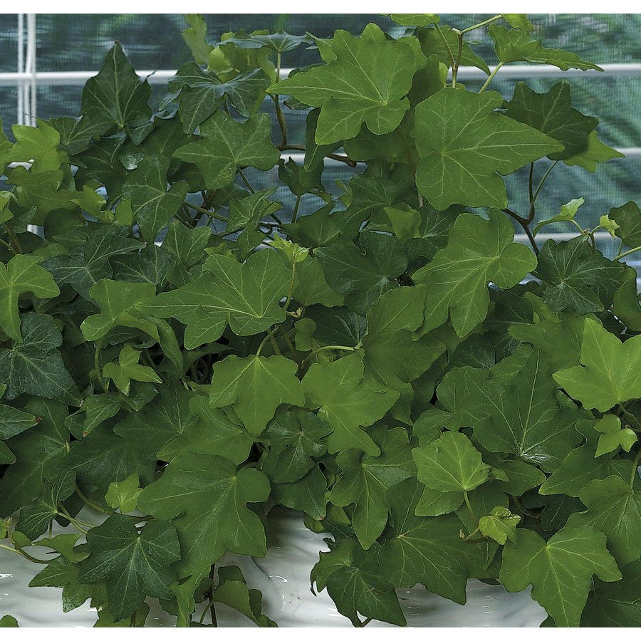 Exotic Angel Plants 15 Oz Ivy L20950hp Mikeymikes