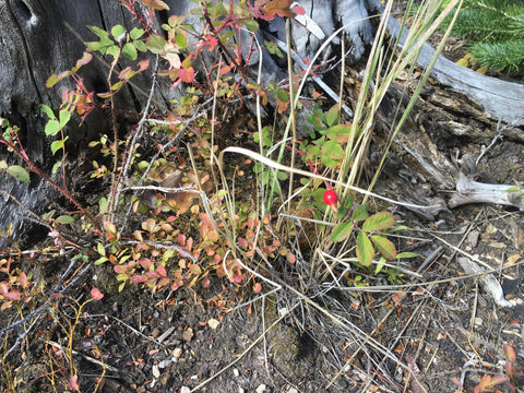 Grouse hunting, berry shrubs, Backcountry Bounty