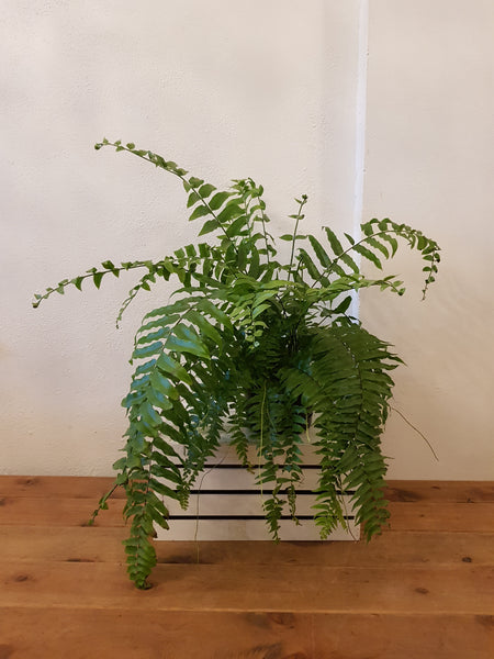 Macho Fern XL