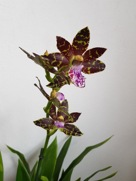 Orchid 'Bali Quest'