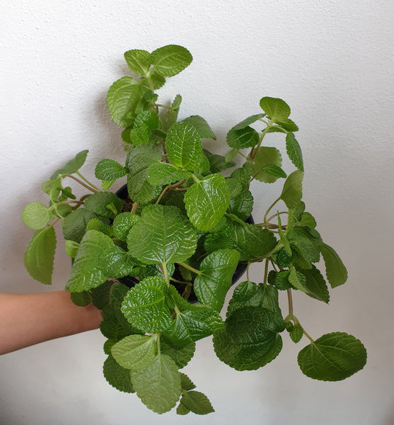Pilea Creeping Charlie