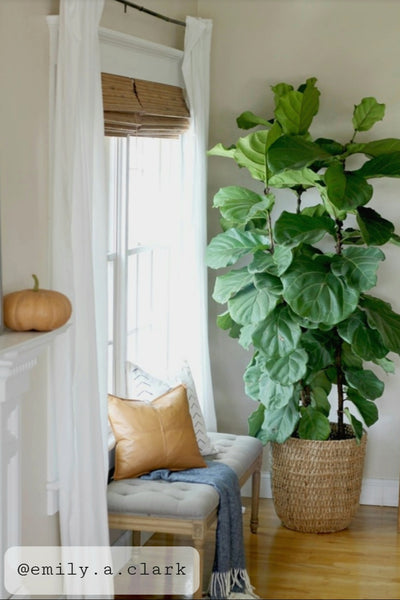 Fiddle Leaf Fig - small