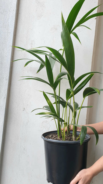 Kentia Palm - Large