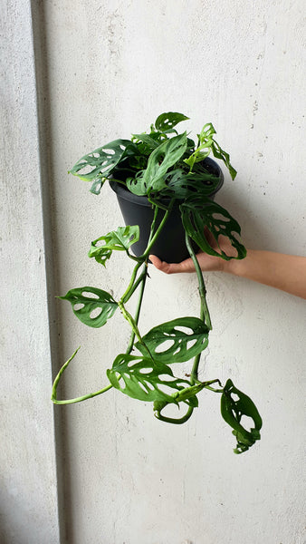 Swiss Cheese Vine Plant