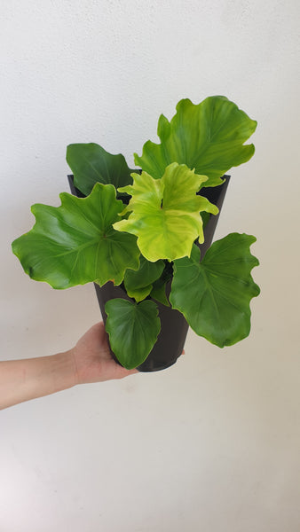 "Philodendron ""Hope"" - small"