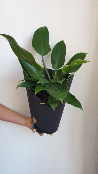 Large Philodendron Imperial Green