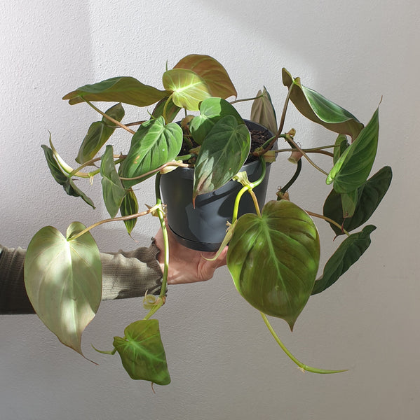 Mother's Day Gift Boxed Philodendron Micans FREE LOCAL DELIVERY