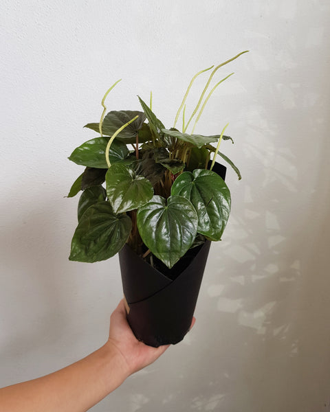 Peperomia (unknown)
