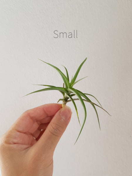 Air Plants (One of a Kind)