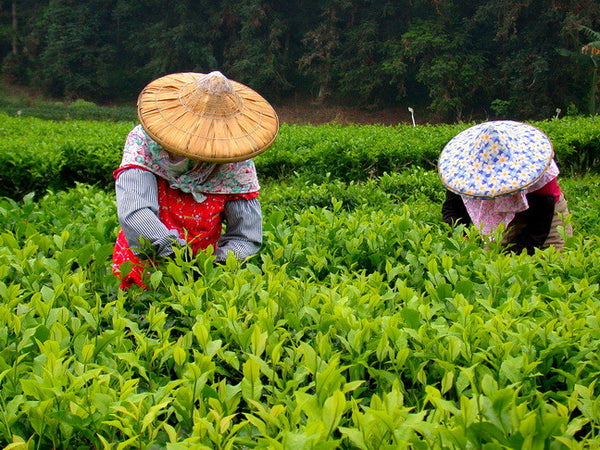 How are different types of tea processed and classified?