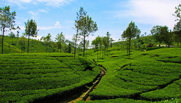 Sri Lanka's Ozone friendly tea plantations