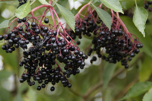 Try Elderberry tea for quick recovery