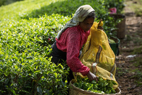 Hand plucked Ceylon Tea is widely renowned as one of the world's finest teas