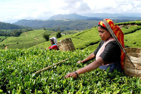 Plucking Ceylon tea