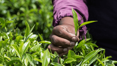 Hand-picking Ceylon tea