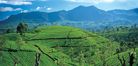 Tea hills of Sri Lanka